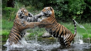 Tigers Sparring in Martial Arts